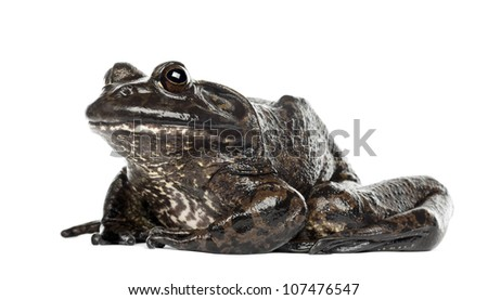 American bullfrog or bullfrog, Rana catesbeiana, against white background - stock photo