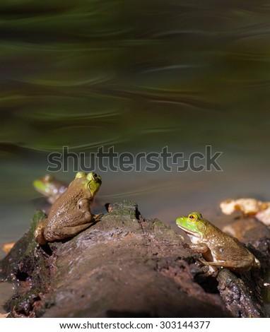 American Bullfrogs (Lithobates catesbeianus) sitting on rocks - stock photo
