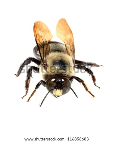 American Bumble Bee Closeup Isolated on White - stock photo