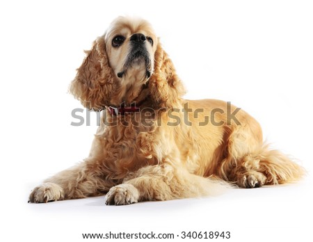 American cocker spaniel isolated on white - stock photo