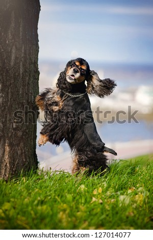 american cocker spaniel jump and look at the camera - stock photo