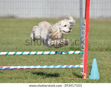 American Cocker Spaniel Leaping Over a Jump at a Dog Agility Trial - stock photo
