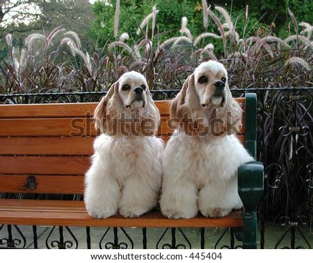 American Cocker Spaniel litter mates sitting on park bench - stock photo