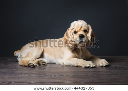 American cocker spaniel lying on dark background. Young purebred Cocker Spaniel. Dog Staring at Camera. - stock photo