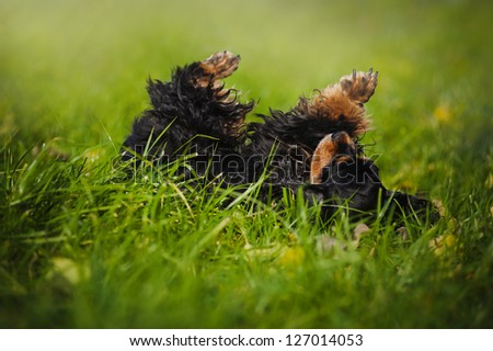american cocker spaniel lying on his back and relaxed - stock photo