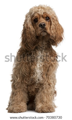 American Cocker Spaniel, 10 months old, sitting in front of white background - stock photo