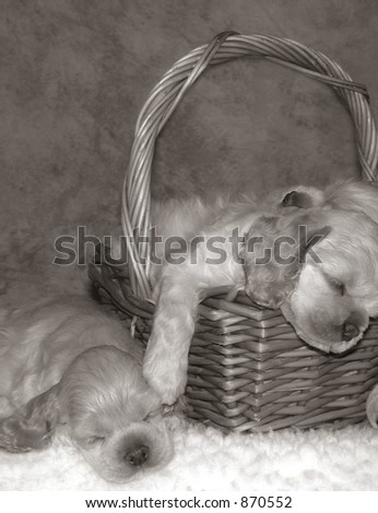 American Cocker spaniel puppies asleep in a basket - stock photo