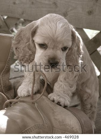 American Cocker Spaniel puppy on work boot - stock photo