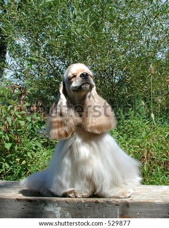 American Cocker Spaniel with a silly expression - stock photo