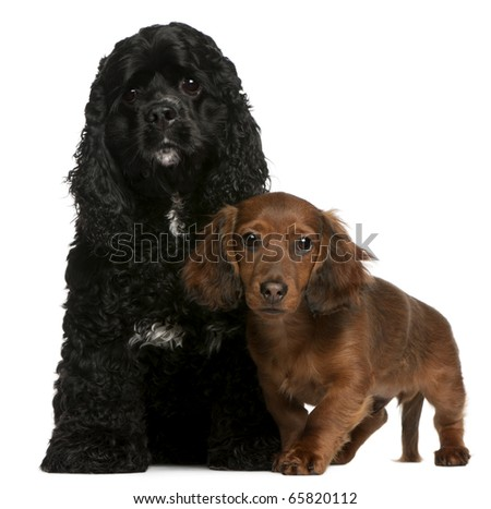 American Cocker Spaniel, 2 years old, and Dachshund puppy, 4 months old, in front of white background - stock photo