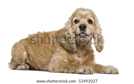 American Cocker Spaniel, 8 years old, lying in front of white background - stock photo