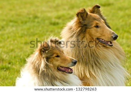 American collie dogs - stock photo