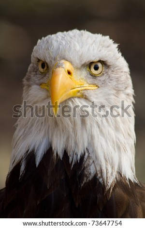 American Eagle - Haliaeetus leucocephalus - stock photo