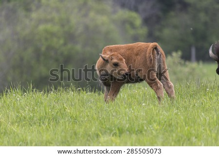American Field Buffalo - stock photo
