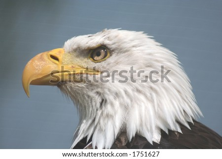 American Fish Eagle - stock photo