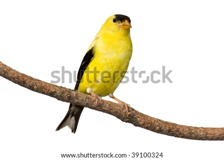 american goldfinch at rest on white background - stock photo