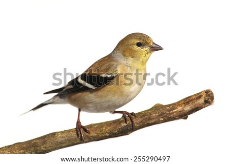 American Goldfinch (Carduelis tristis) perched in a tree with a white background - stock photo