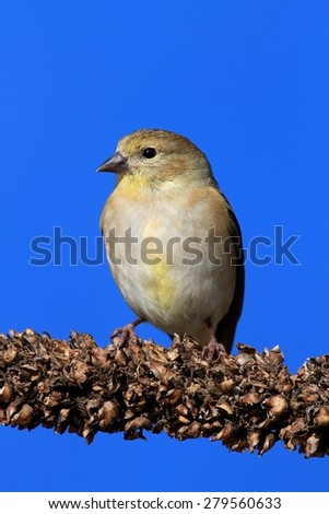 American Goldfinch (Carduelis tristis) perched with a blue background - stock photo