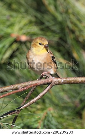 American Goldfinch (Carduelis tristis) perched with a green background - stock photo