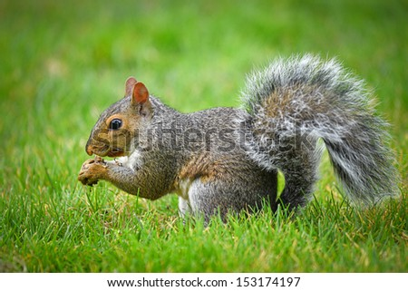 American gray squirrel eating a nut - stock photo