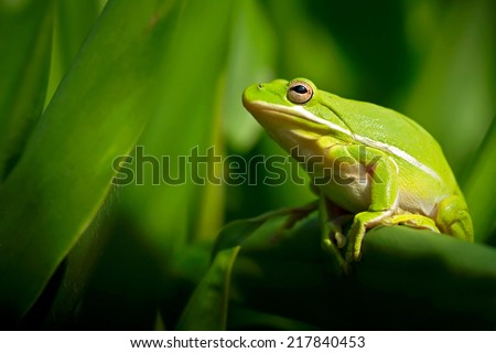 American green tree frog with lush ginger foliage - stock photo