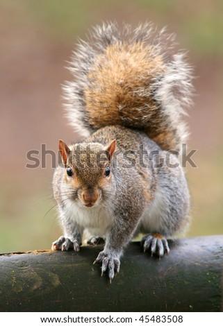 American grey squirrel, Sciurus carolinensis - stock photo