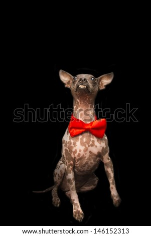 American Hairless Terrier Wearing Fancy Red Bowtie - stock photo