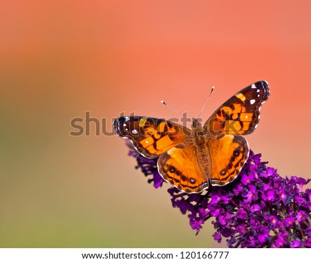 American Lady (Vanessa virginiensis) butterfly feeding on purple butterfly bush flowers. Green and orange color background with copy space. - stock photo