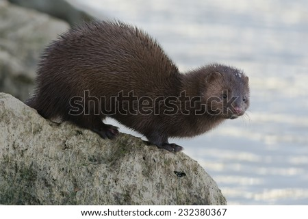 American Mink checking out the water before taking a swim. - stock photo