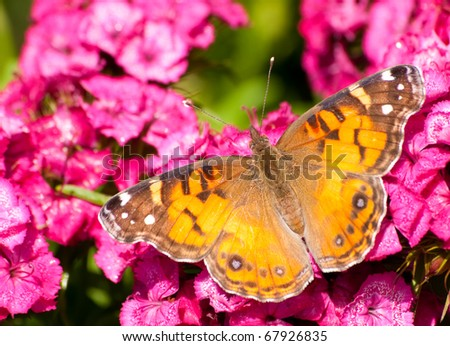 American Painted Beauty butterfly feeding on bright pink flowers - stock photo