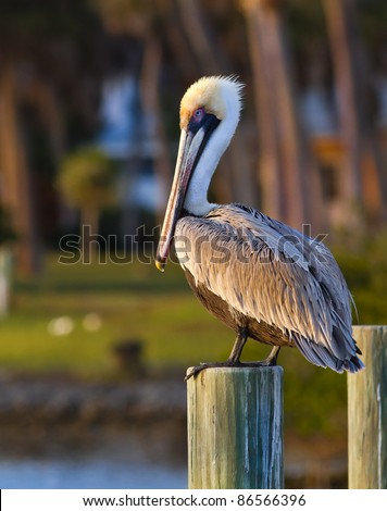 American pelican rests on post in Florida - stock photo