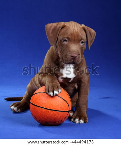 American Pit Bull Terrier Cute Puppy with ball on a blue background - stock photo