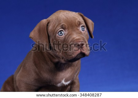 American Pit Bull Terrier little puppy on blue background, portrait - stock photo