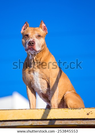 American Pit Bull Terrier on the training ground for dogs - stock photo