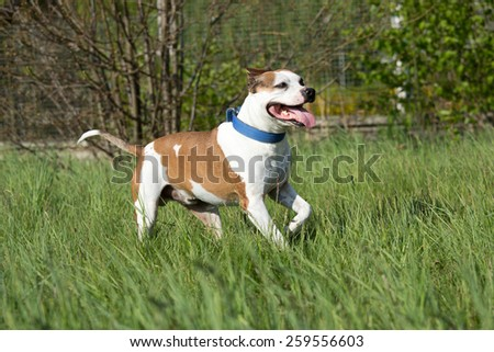 American Pit Bull Terrier running in the meadow - stock photo