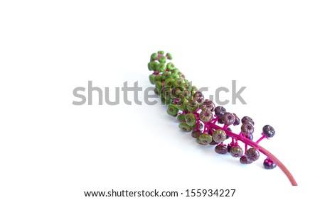 American Pokeweed - stock photo