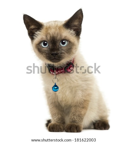American Polydactyl kitten sitting, looking at the camera,3 months old, isolated on white - stock photo