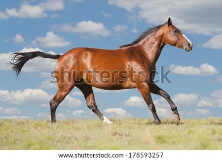 American Quarter Horse - stock photo