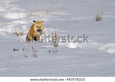 American Red Fox (Vulpes vulpes fulva) adult, walking on snow, with just caught mouse, Yellowstone national park , Wyoming, USA. - stock photo
