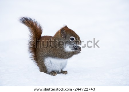 American Red Squirrel in Winter - stock photo