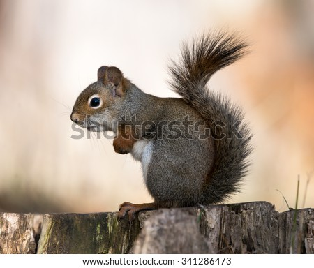 American Red Squirrel Sitting on Stump in Fall - stock photo