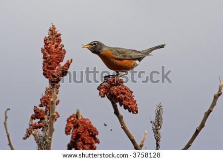 American robin - stock photo