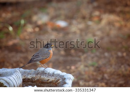 American Robin on bird bath.  Selective focus on eye of the bird and very shallow depth of field.  - stock photo