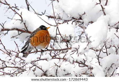 American robin perched in snowy tree in Minnesota after flying north in spring migration - stock photo