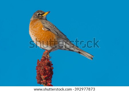 American Robin perched on sumac. - stock photo