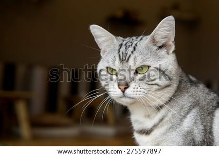 american short hair cat  - stock photo