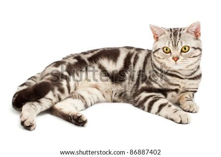 American Shorthair cat on white - stock photo