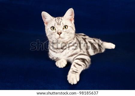 American Shorthair kitten on midnight blue background - stock photo