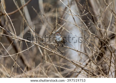 American sparrows are a group of mainly New World passerine birds. American sparrows are seed-eating birds with conical bills, brown or gray in color, and many species have distinctive head patterns   - stock photo