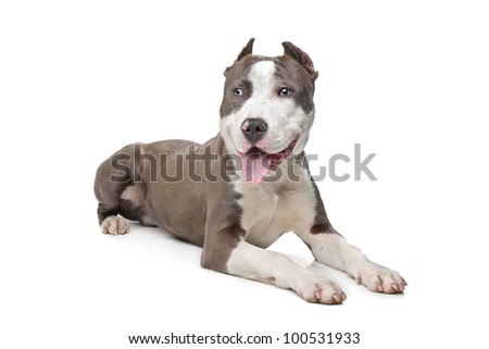 American Stafford with cropped ears in front of a white background - stock photo